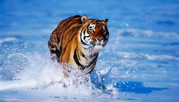 bengal_tiger