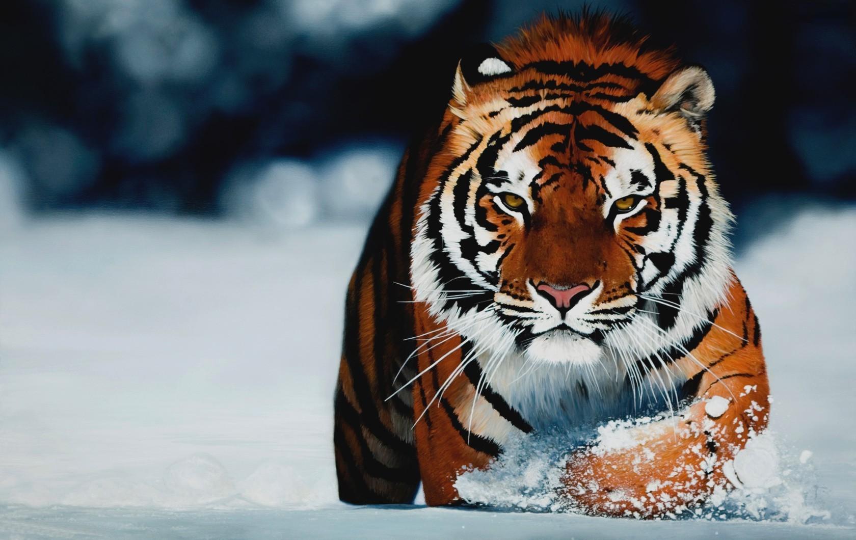 tigreneige